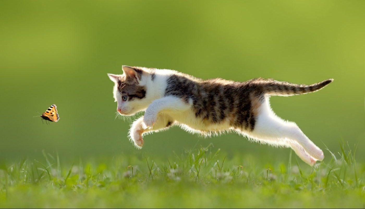 Kattenvoer